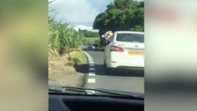 Photo of Ile Maurice : Une vache voyage dans une voiture