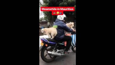 Photo of Grand Gaube : Un homme promène ses deux chiens à moto