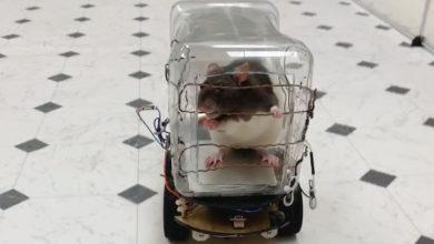 Photo of Des rats entraînés à conduire des mini-voitures